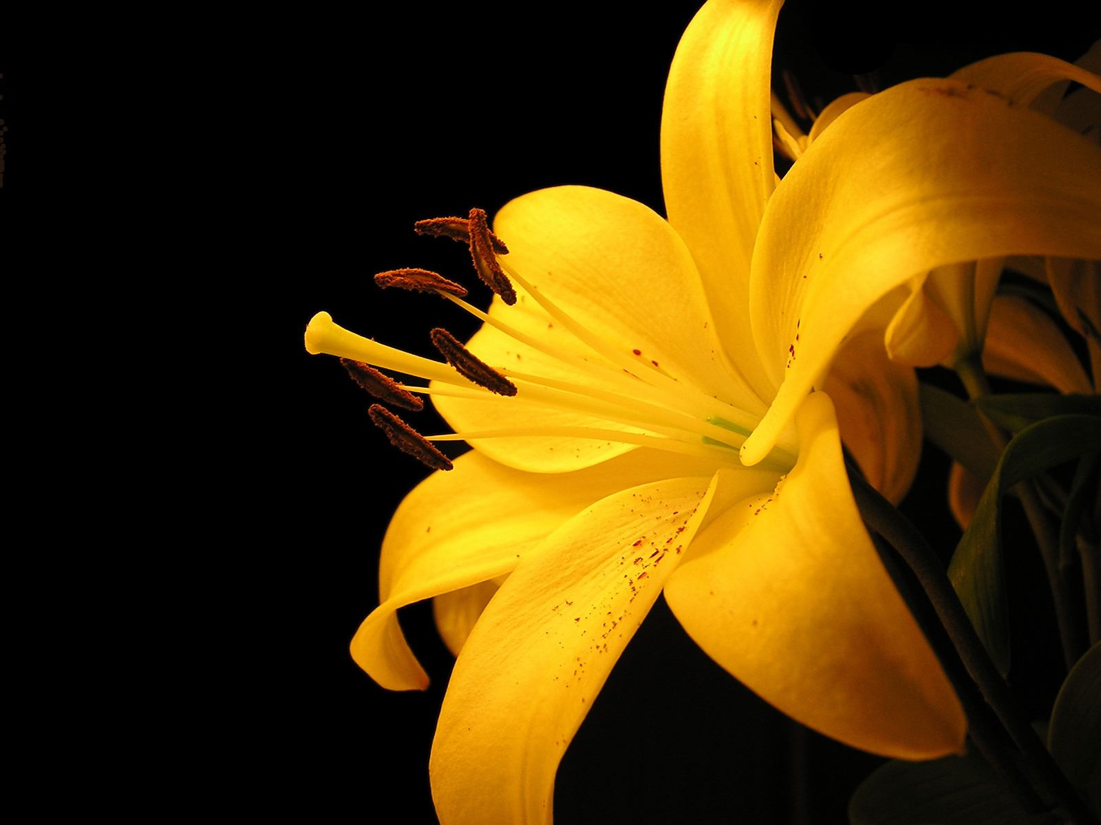 Yellow Lily wallpaper Wallpaper