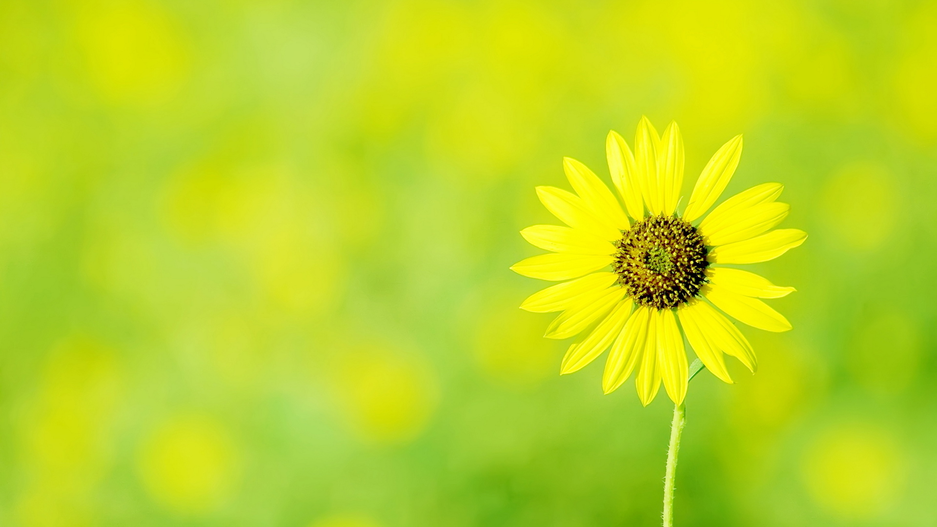 background, wallpapers, chamomile, yellow, green, wallpaper, flowers
