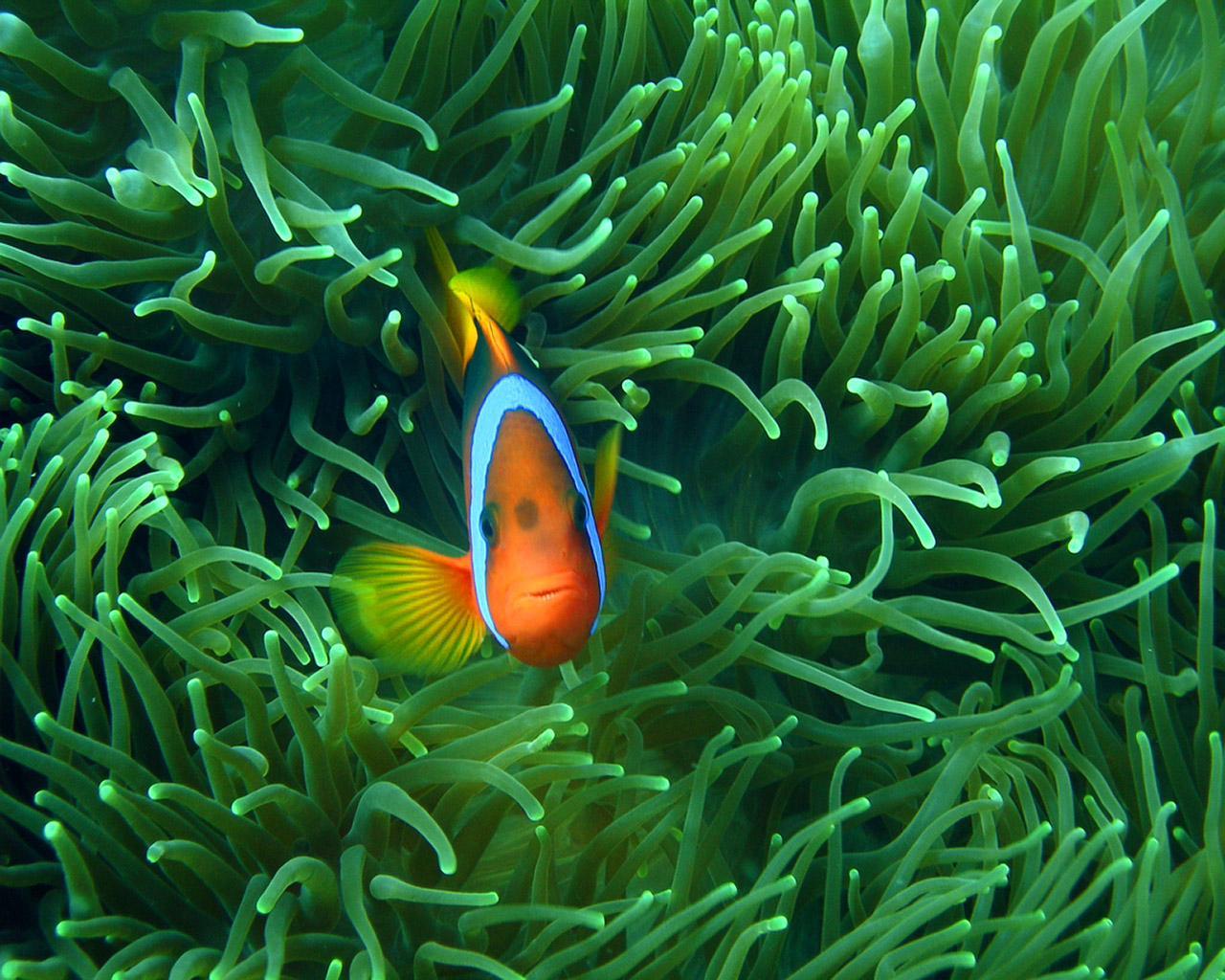 Clown Fish Wallpaper Wallpaper
