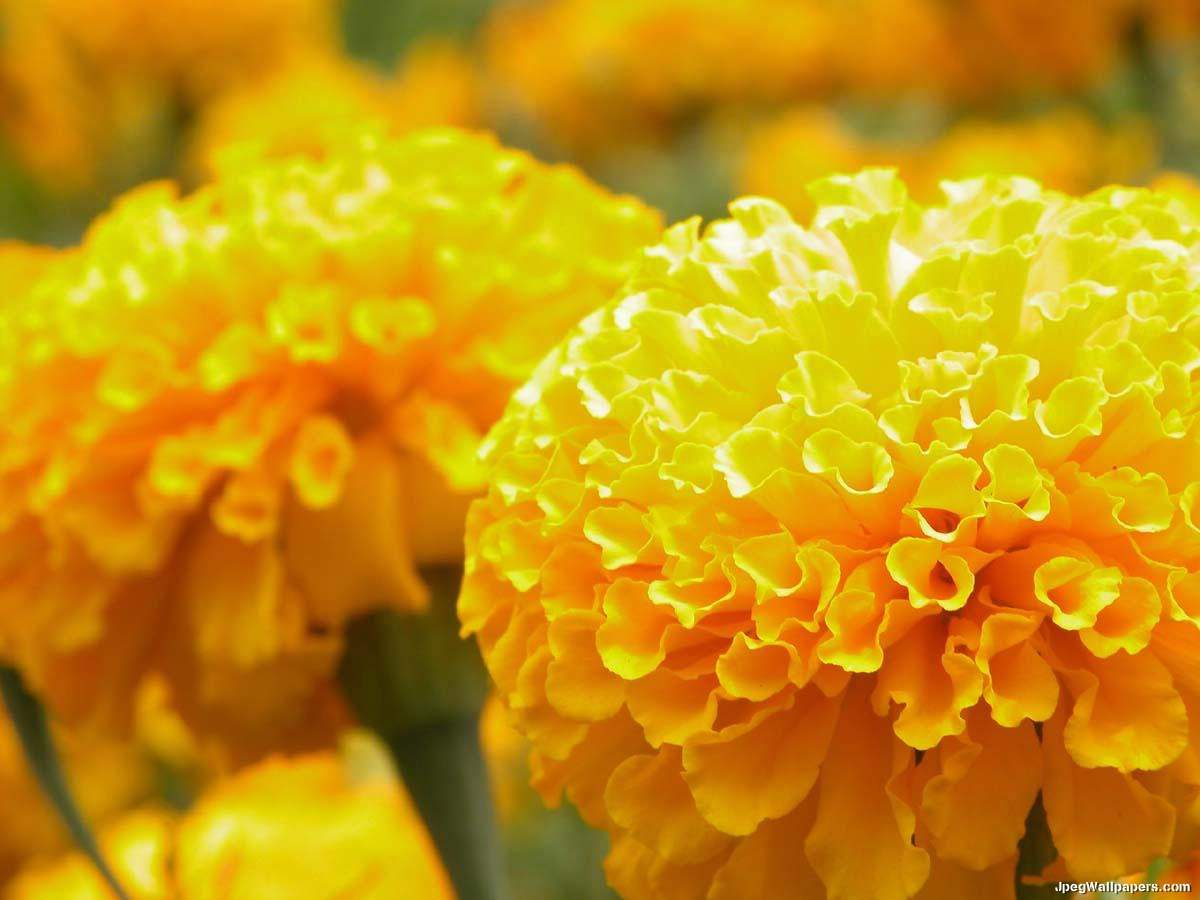 Yellow Marigolds wallpaper