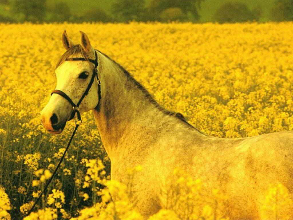 Yellow Flowers Wallpaper » Landscapes Wallpaper | Horse Wallpaper