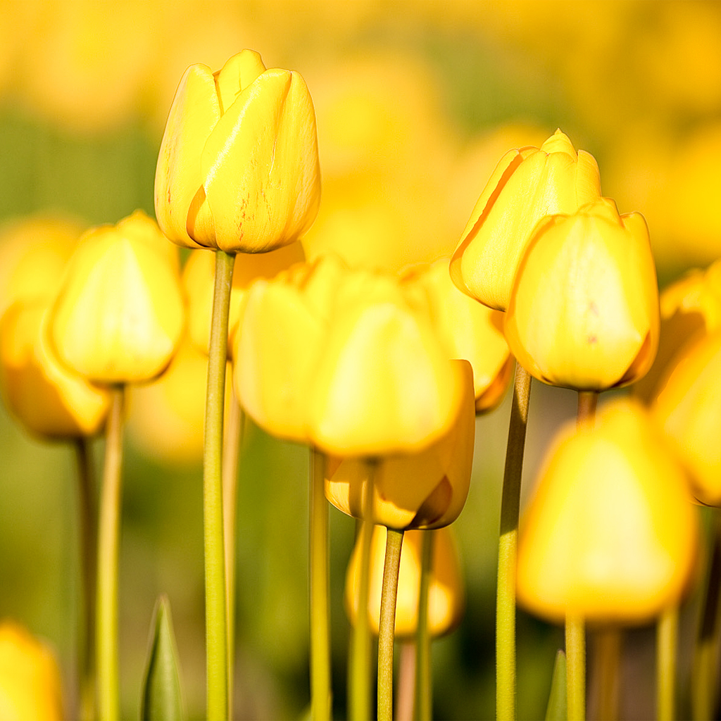 Yellow Tulips ipad wallpaper 1024x1024 | iPad Wallpapers