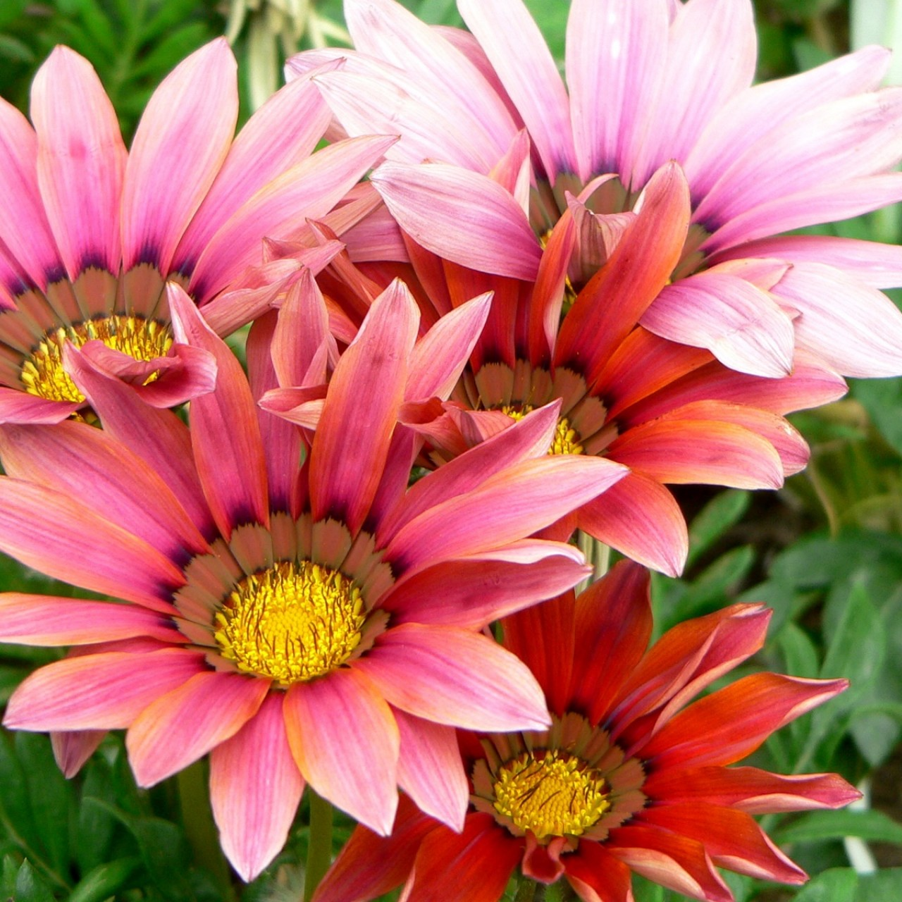 Gazania Flowers   Wallpapers AM Wallpaper