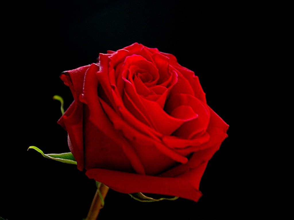 Save Red Rose On Black Background To Your Desired Location Wallpaper
