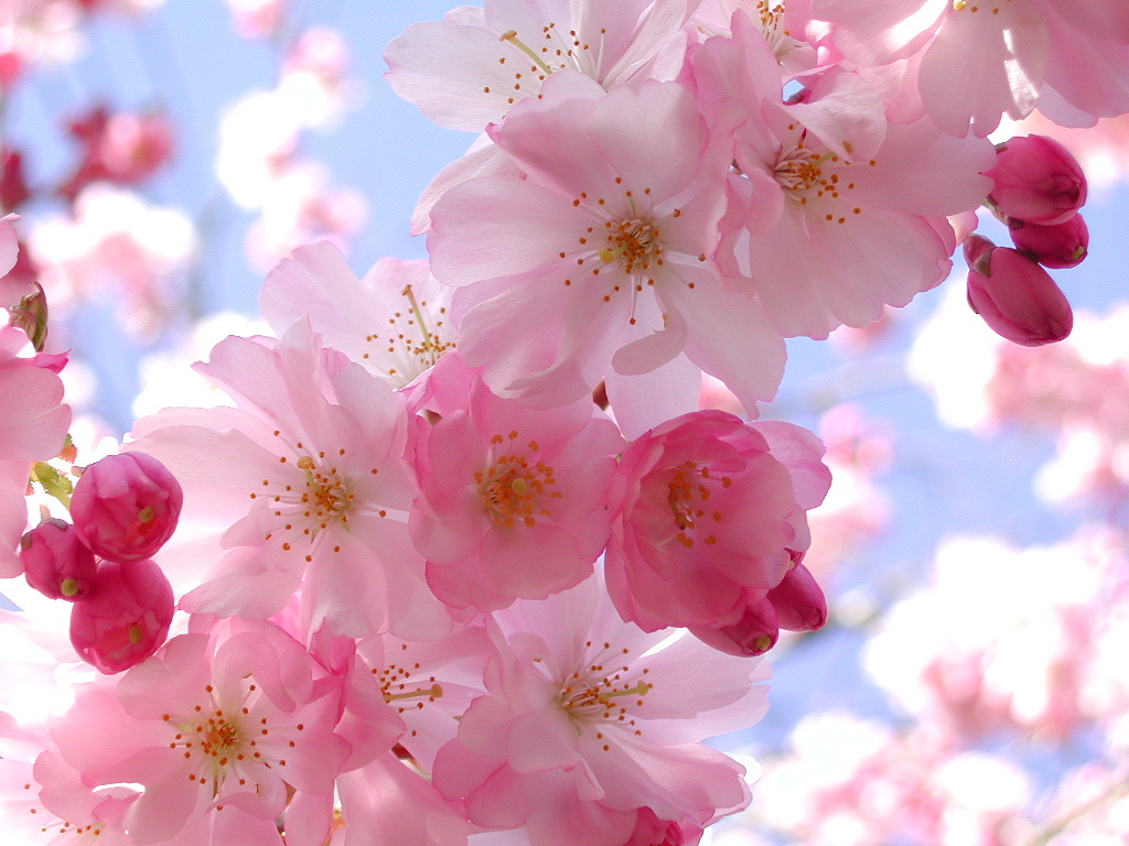 Cherry Blossom Pink Flowers 3[1]   Beautiful You Wallpaper