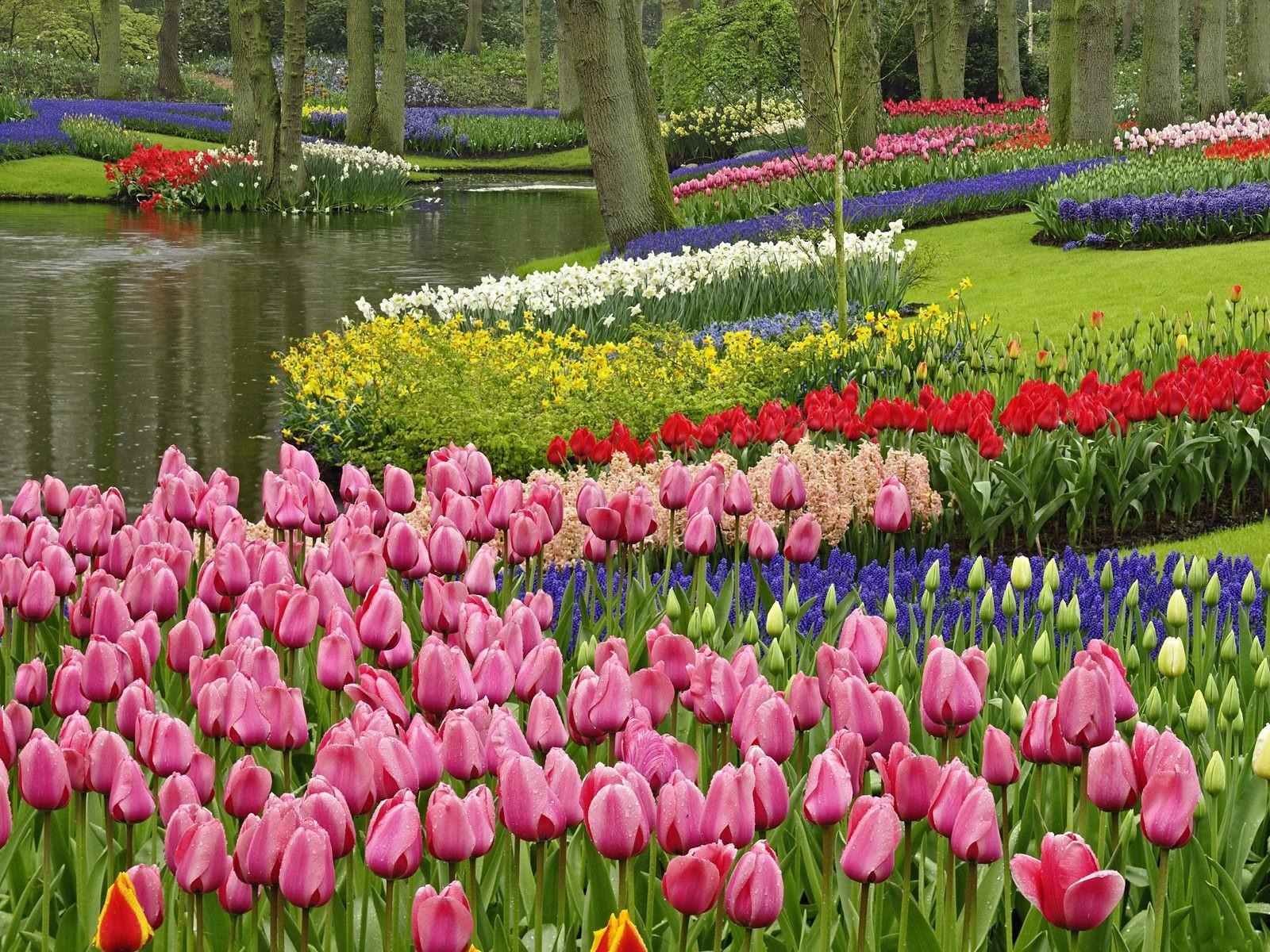 Download Spring Tulip Garden In The Park Wallpaper | Wallpaper Million Wallpaper