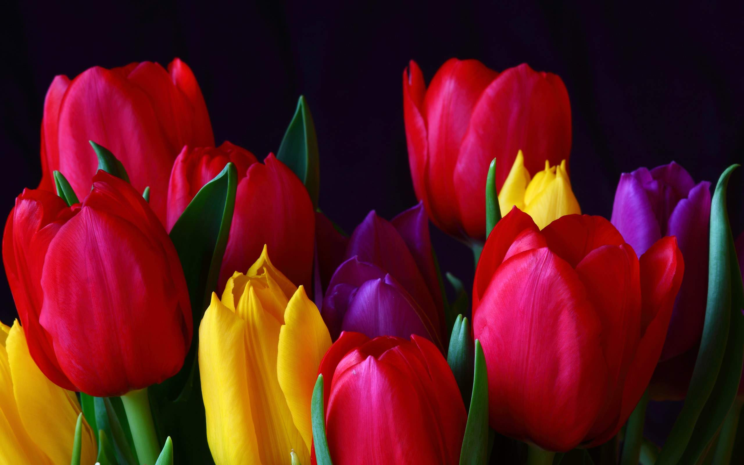 Beautiful Multi Colored Tulip Flowers Wallpapers | All Flowers | Send Wallpaper