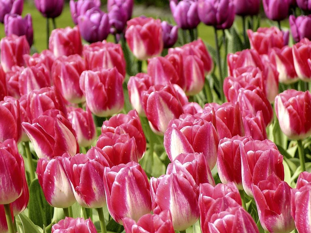 Flowers | Wedding Flowers » Blog Archive » Beautiful Colorful Tulip Wallpaper