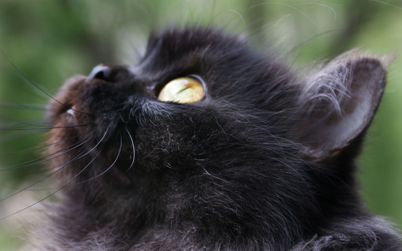Black Cat / Animals / Desktop HD, IPhone, IPad Wallpapers Wallpaper