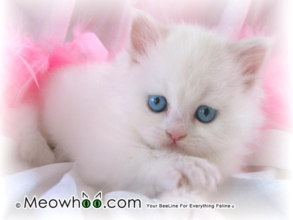 White Kitten With Blue Eyes Wallpaper | White Kitten With Blue Eyes Wallpaper