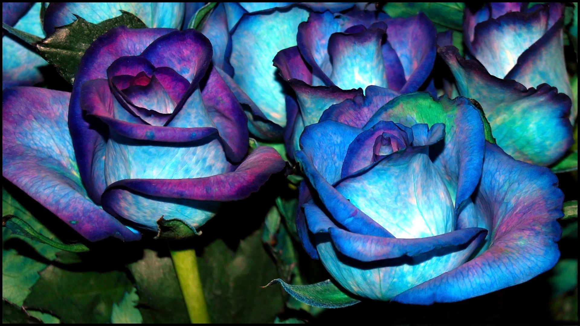 Blue Rose Flower Background HD Wallpaper Blue Rose Flower Wallpaper
