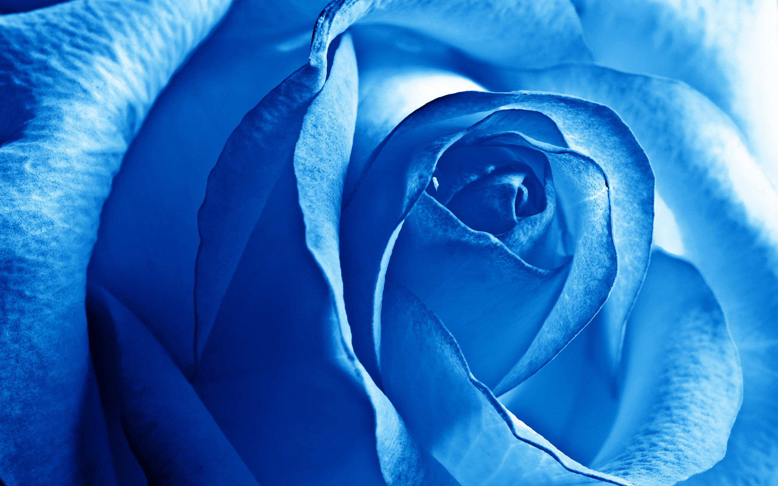 Blue Rose Wallpapers | HD Wallpapers Wallpaper