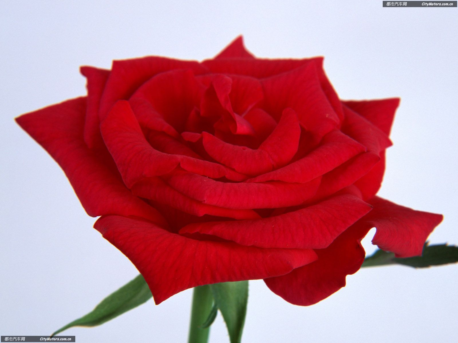Champagne Rose « Flower Pictures Wallpaper