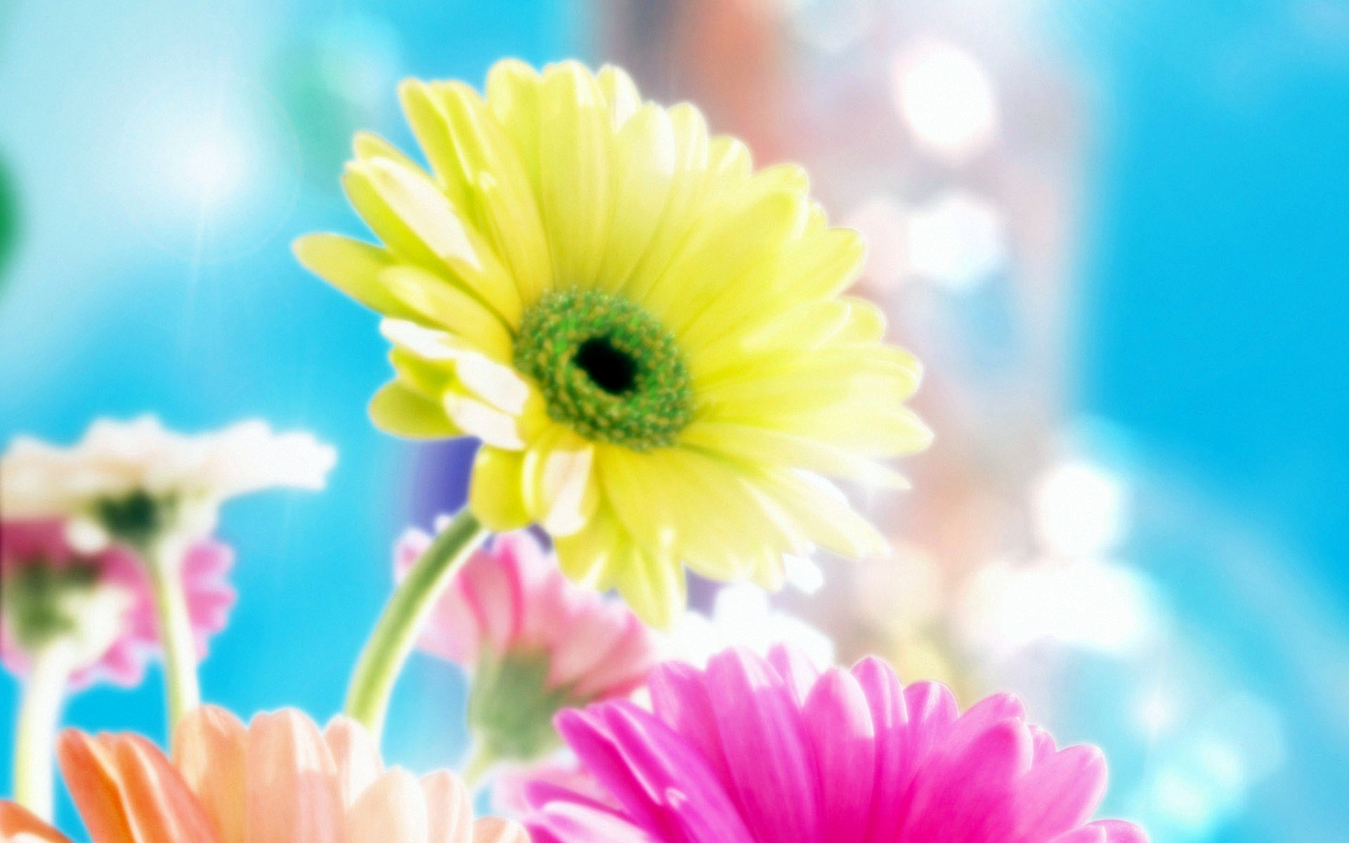 Gerbera Flowers Flower 1920×1200 Wallpaper