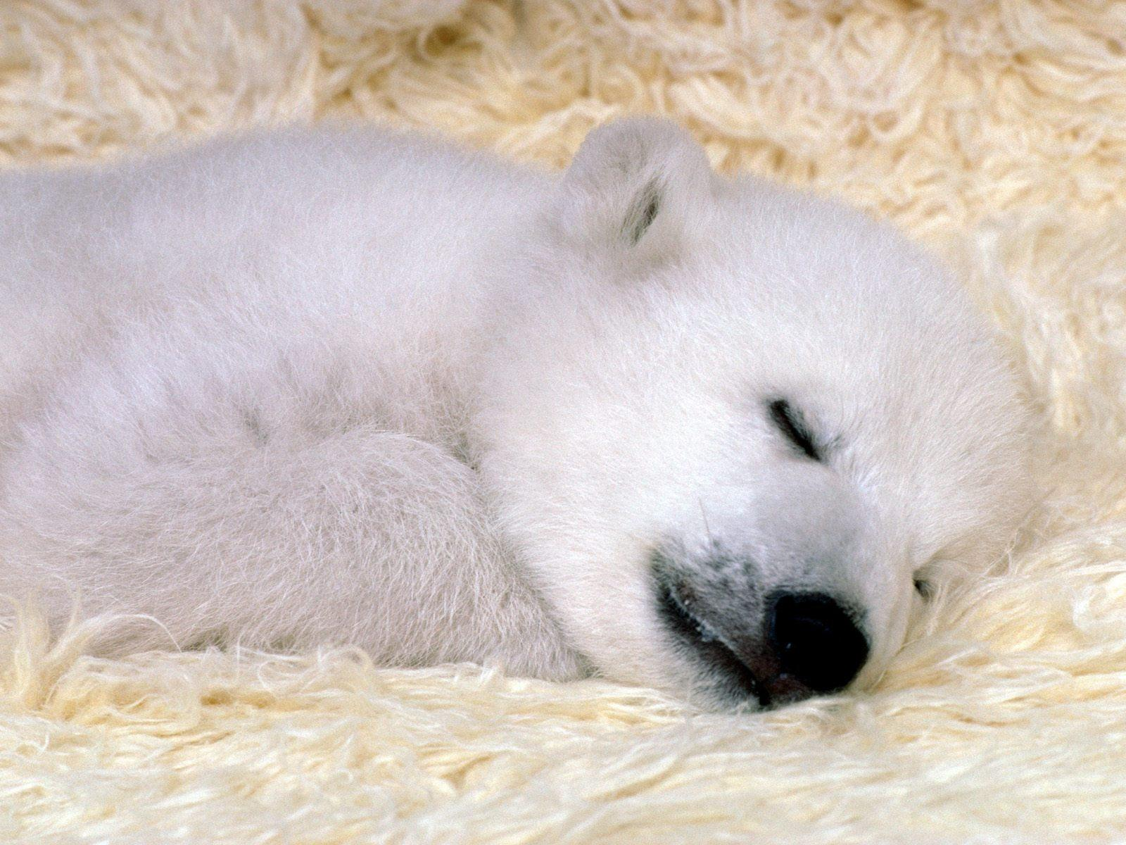 Sleeping Baby Polar Bear Dominopaper Wallpaper