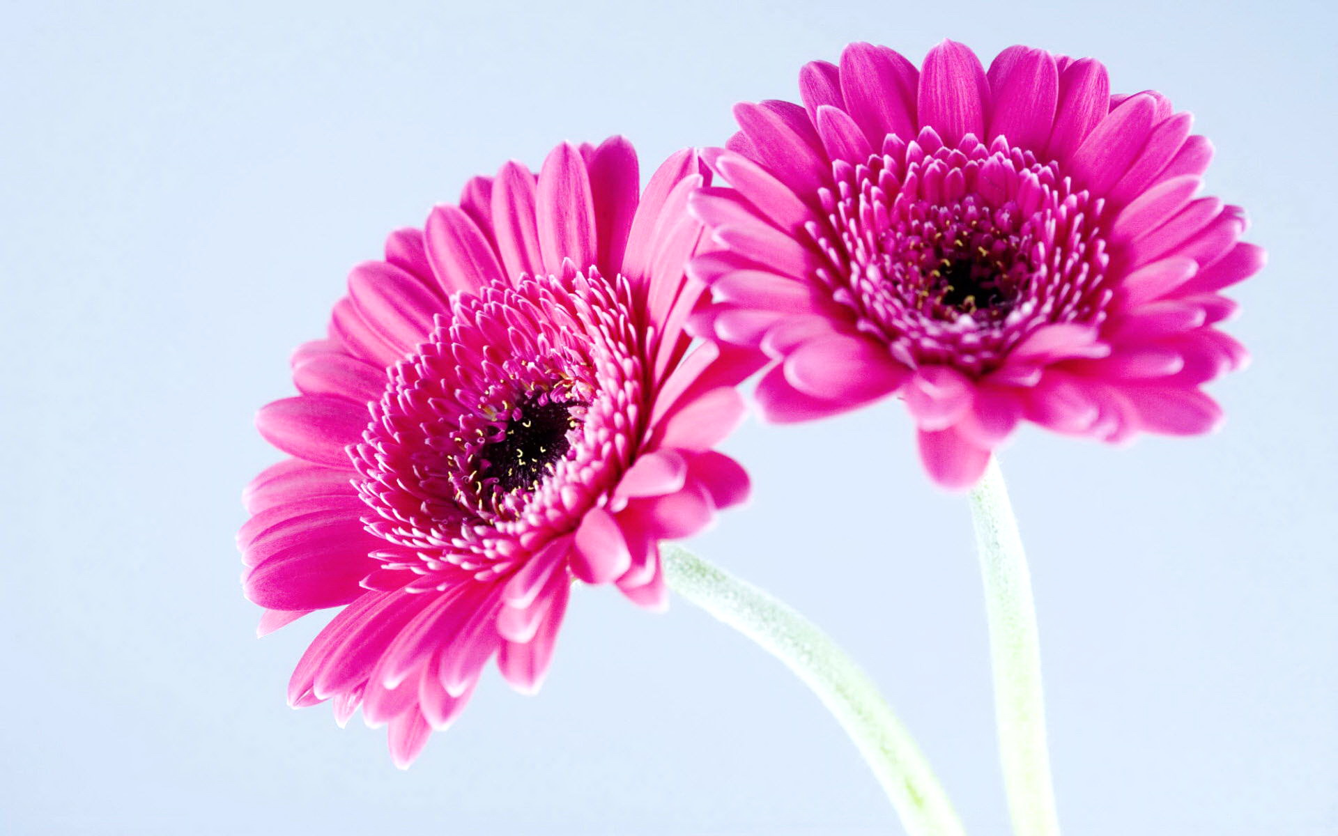 Flowers » Blog Archive » Awesome Pink Daisy Flowers Wallpaper Wallpaper