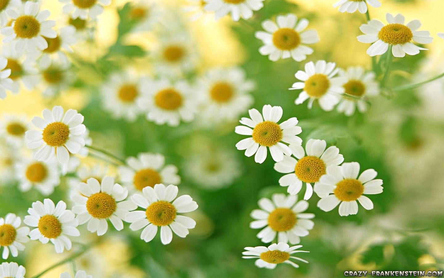 39 Daisy Flower Wallpaper Daisy Flower Wallpaper 8 – Free Wallpaper Wallpaper