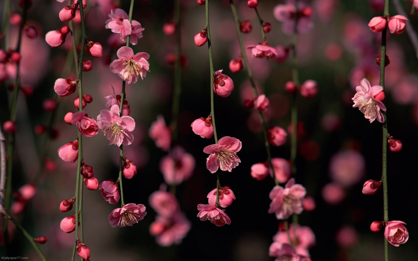 Pink Flower Climber Flower Wallpapers Flowers Wallpapers Bloom Floral Wallpaper