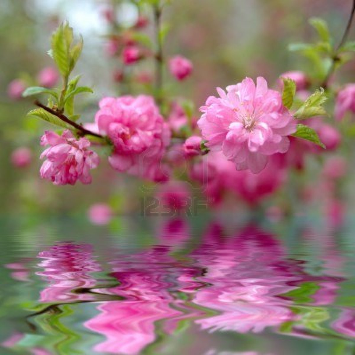 Spring Pink Cherry Blossom Flowers Sakura In Blossom Time Wallpaper