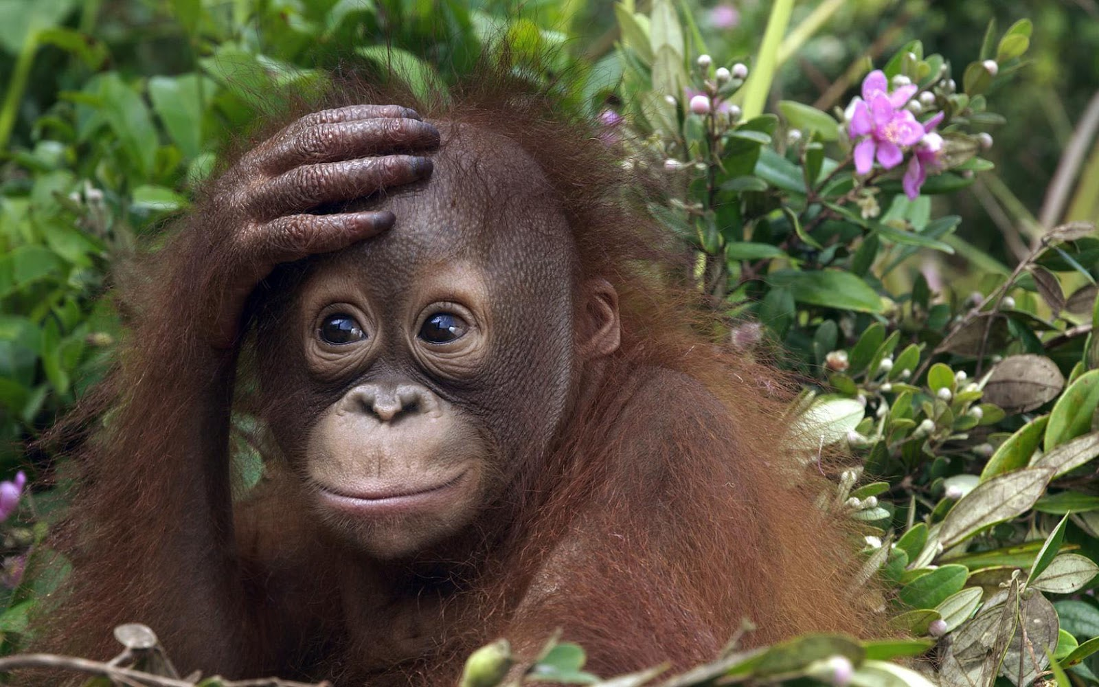HD Animals Wallpaper Of A Cute Orangutan Baby | HD Monkeys Wallpapers Wallpaper