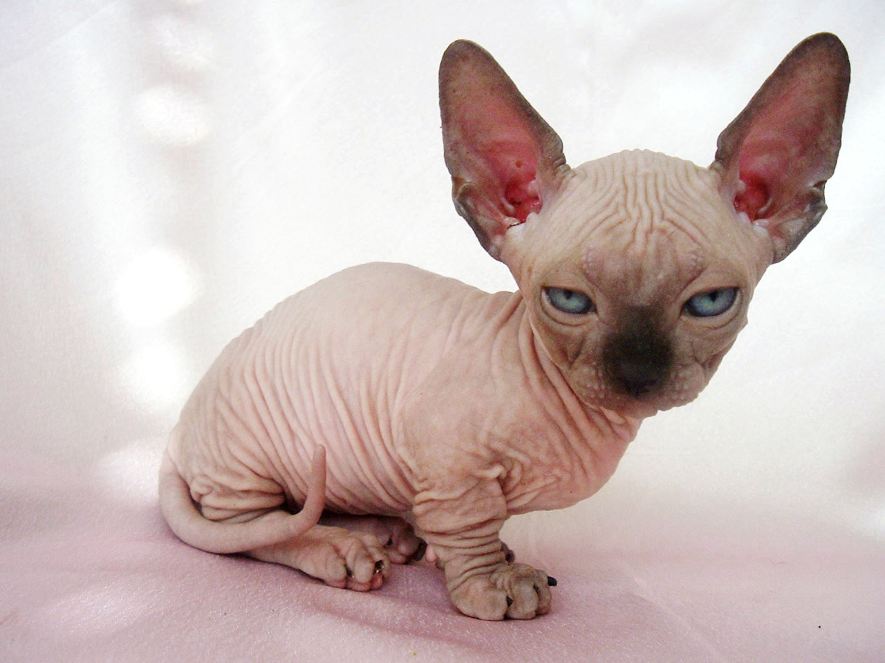 Sphynx Kitten Baby. Baby Sphynx Cat Photo, Pictures And Hd Wallpaper Wallpaper