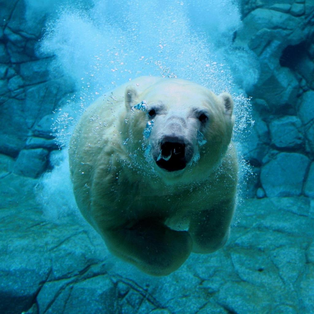 Diving Bear Diving Bear Wallpaper – IPad Wallpapers Wallpaper