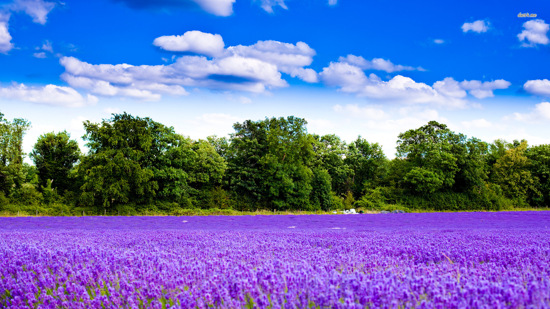 Beautiful Lavender Flowers Wallpaper | Free High Definition Wallpapers Wallpaper