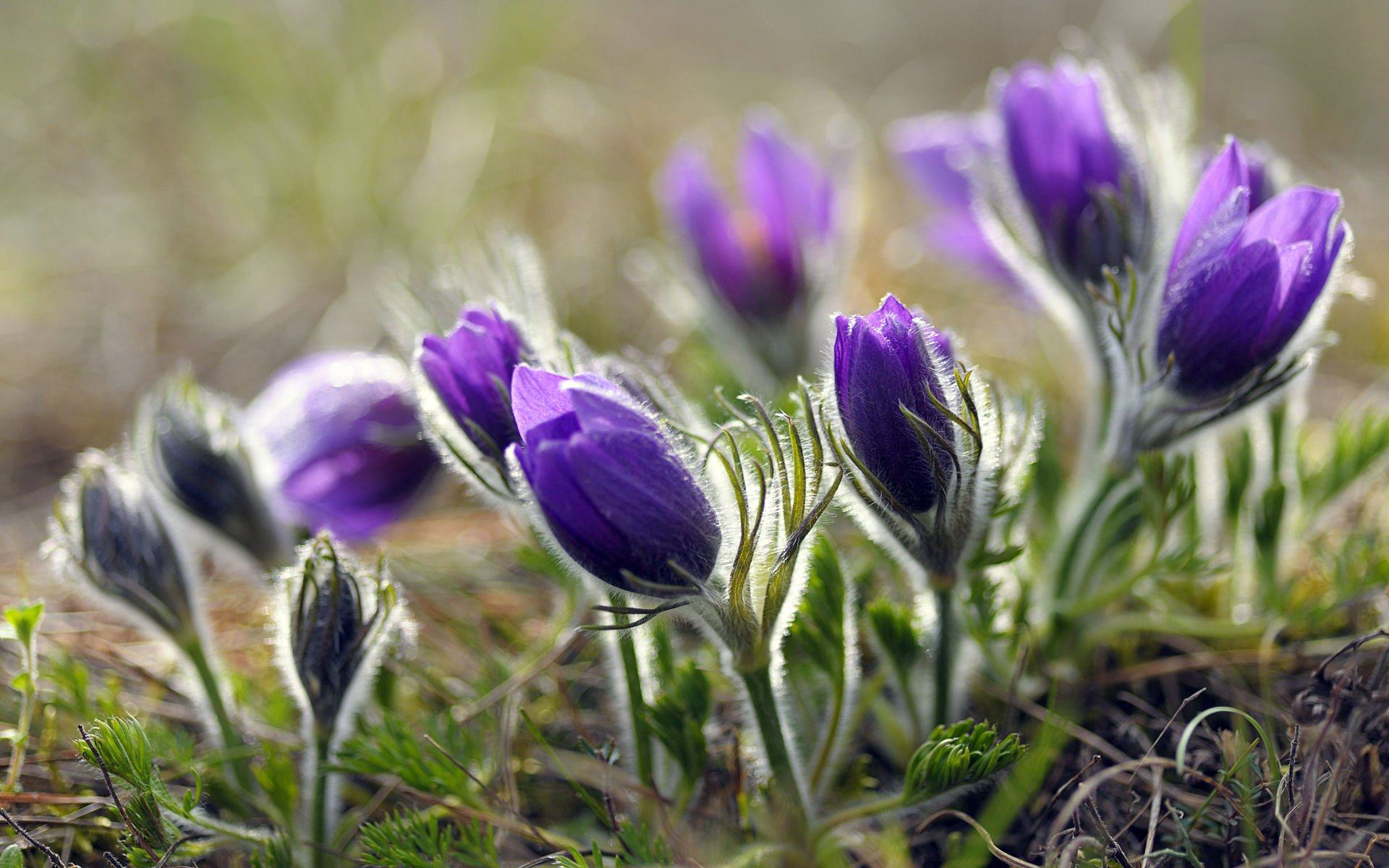 Pasque Flowers, Würzburg, Franconia, Northern Bavaria, Germany   HQ Wallpaper