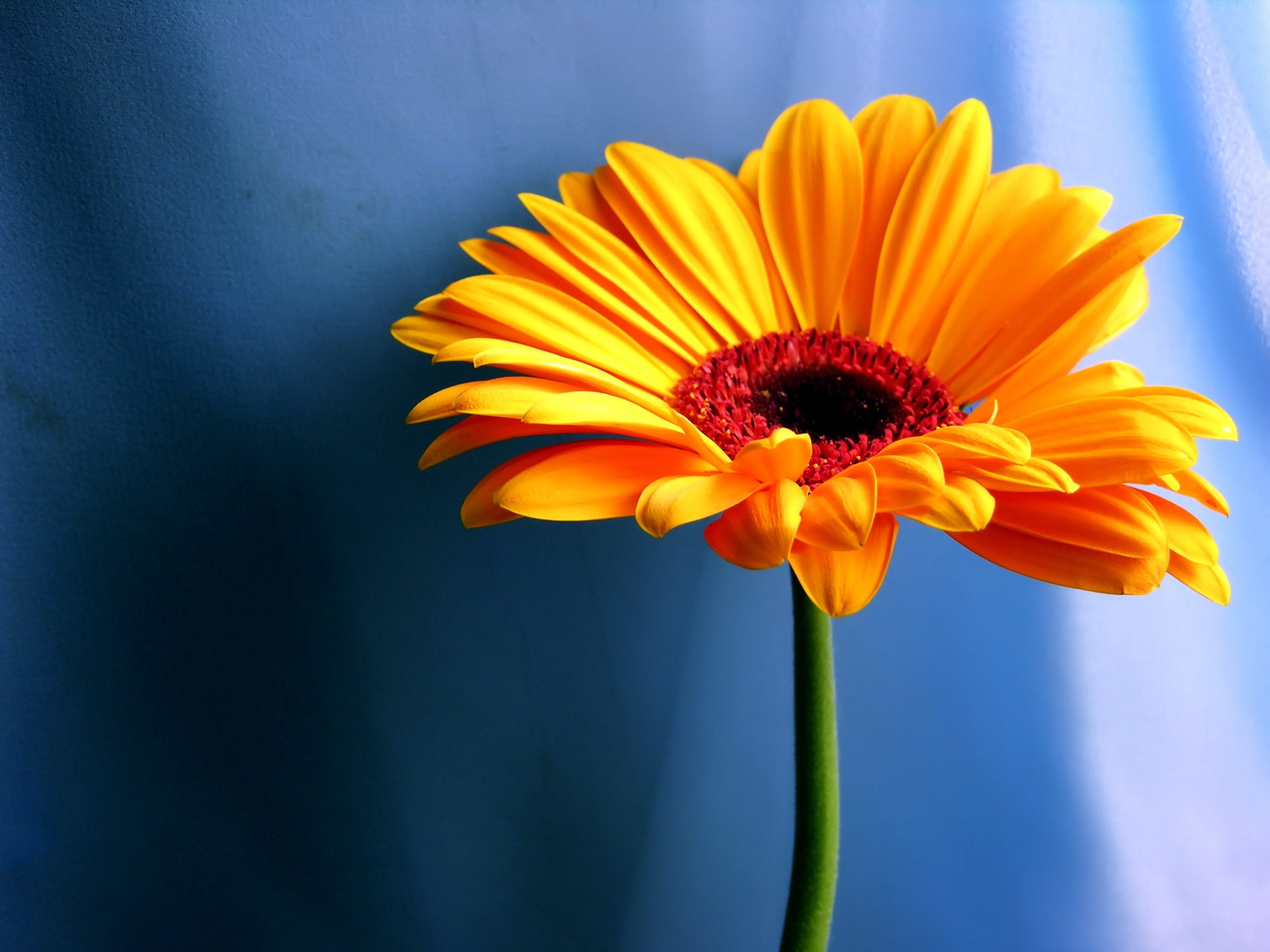 Orange Gerbera Daisy Desktop Wallpaper Wallpaper