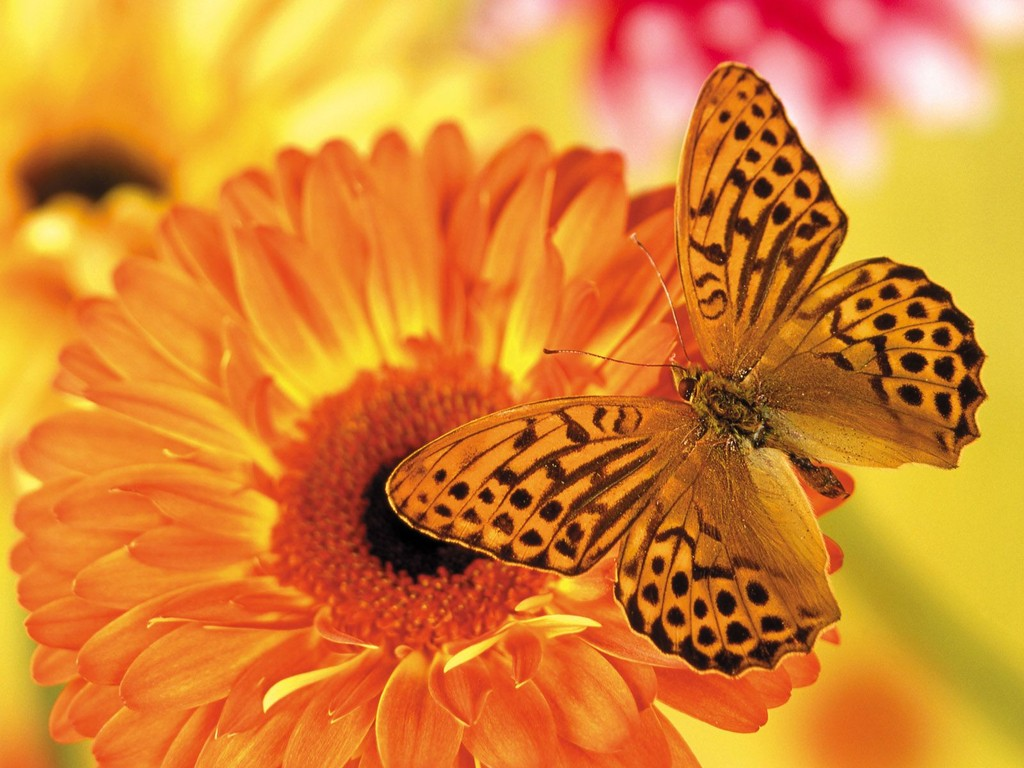 Orange Butterfly Attracted To Orange Flower   Cute Wallpaper Wallpaper