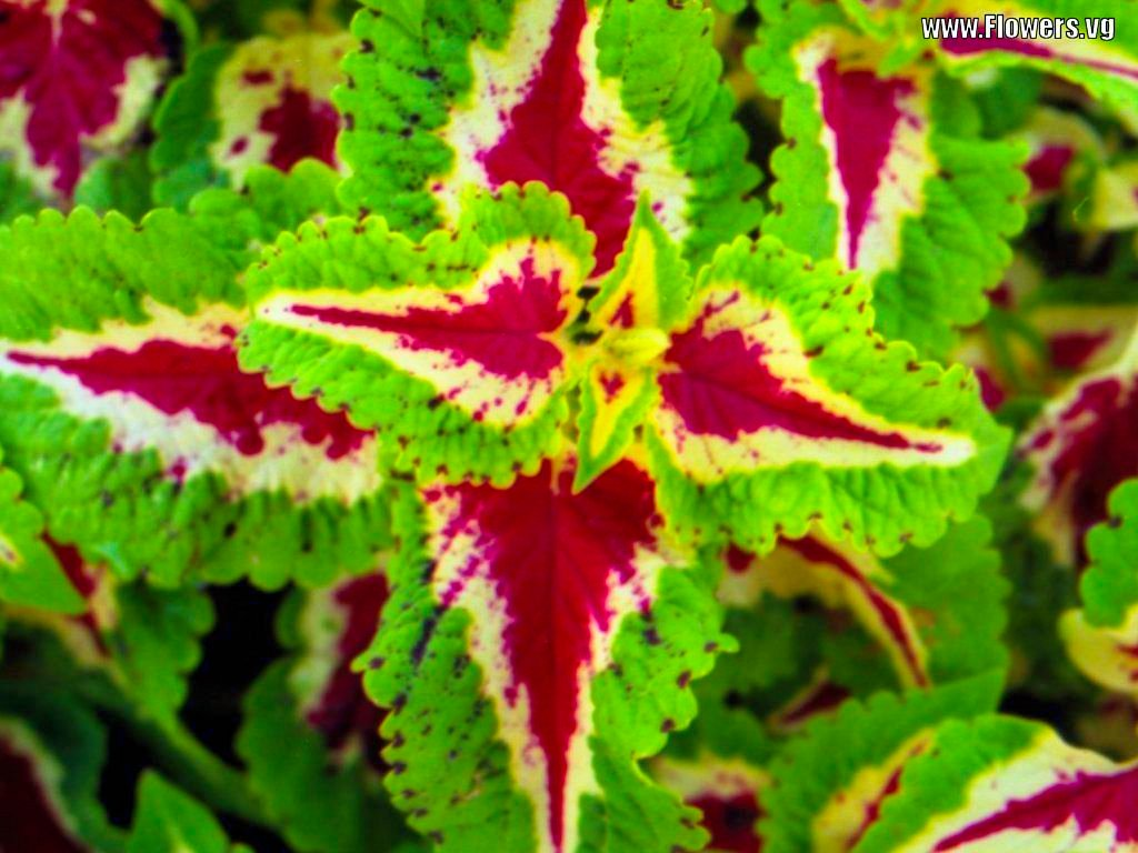 Coleus Plant Pictures Wallpaper
