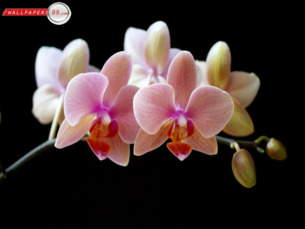 Orchid Flower Wallpaper Wallpapers   Ipad Iphone Ipodz.com Wallpaper