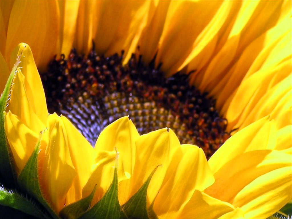 Sunflower | Wallpaper, Hd Wallpaper, Background Desktop Wallpaper