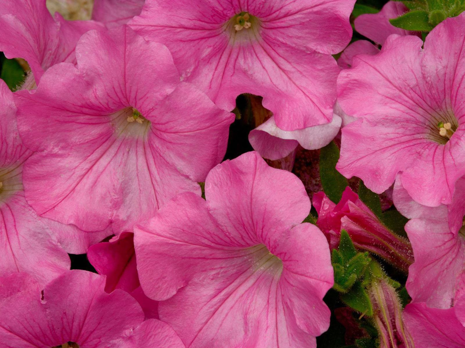 Download Free Pink Petunia Flowers Email Pink Petunia Flowers Wallpaper