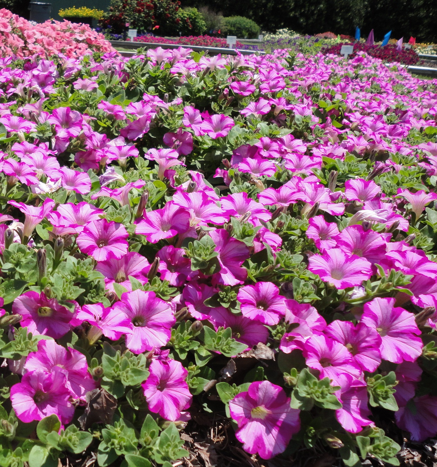 Images/johnsonnursery/Products/Annuals/Petunia_Supertunia_Raspberry Wallpaper