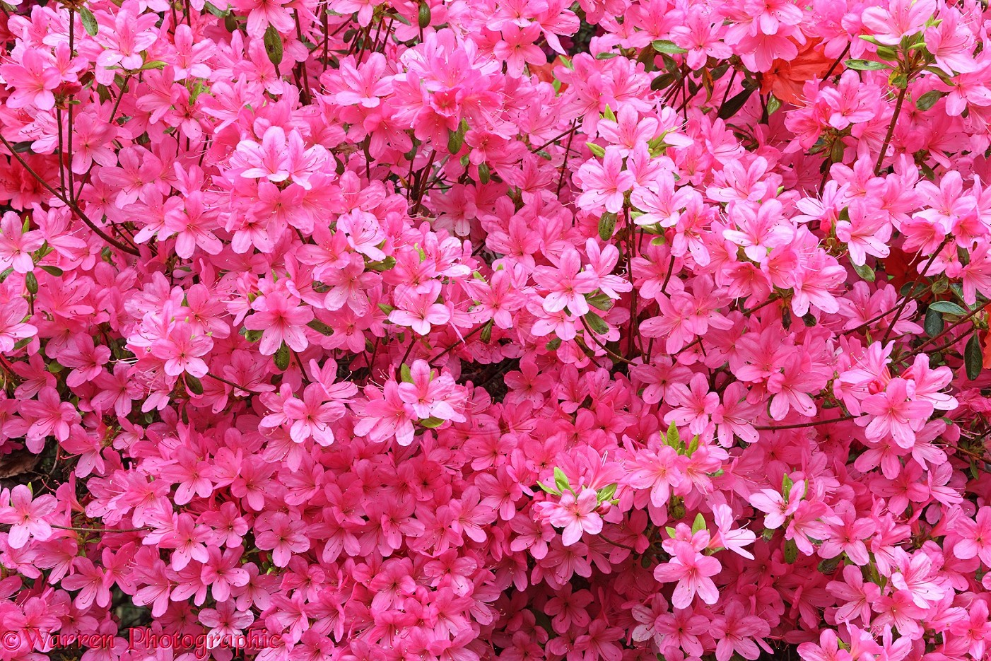 27988 Pink Azalea Flowers Wallpaper