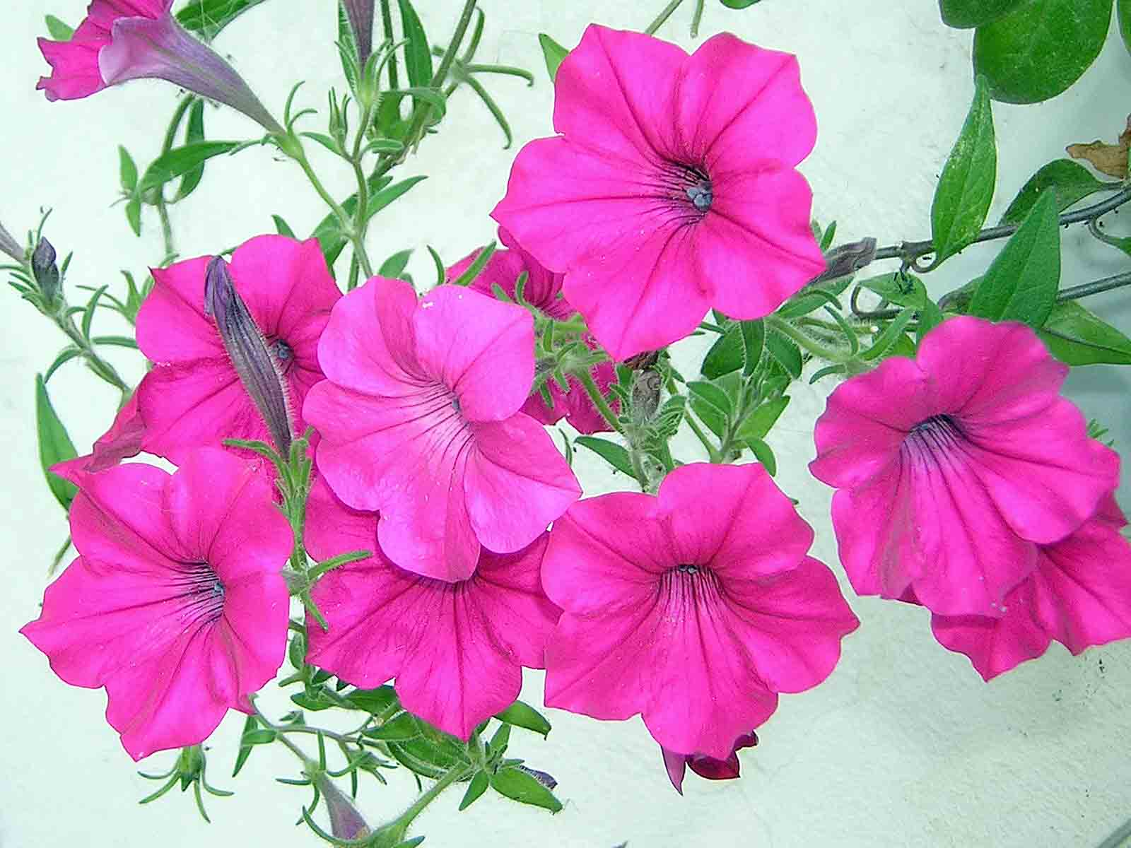 Pink Petunia « Flower Pictures Wallpaper