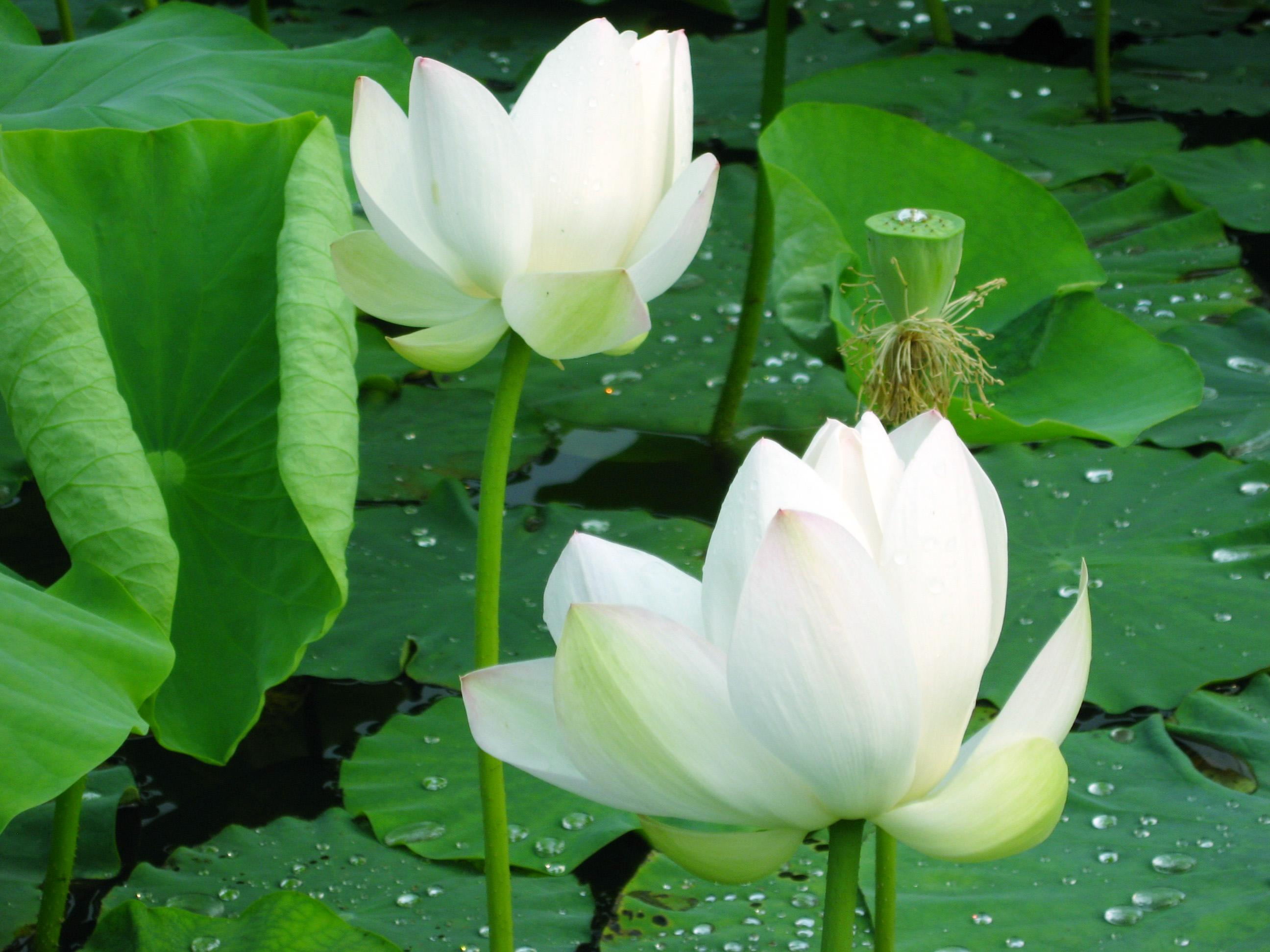 Beautiful Pink And White Lotus « Flower Pictures Wallpaper