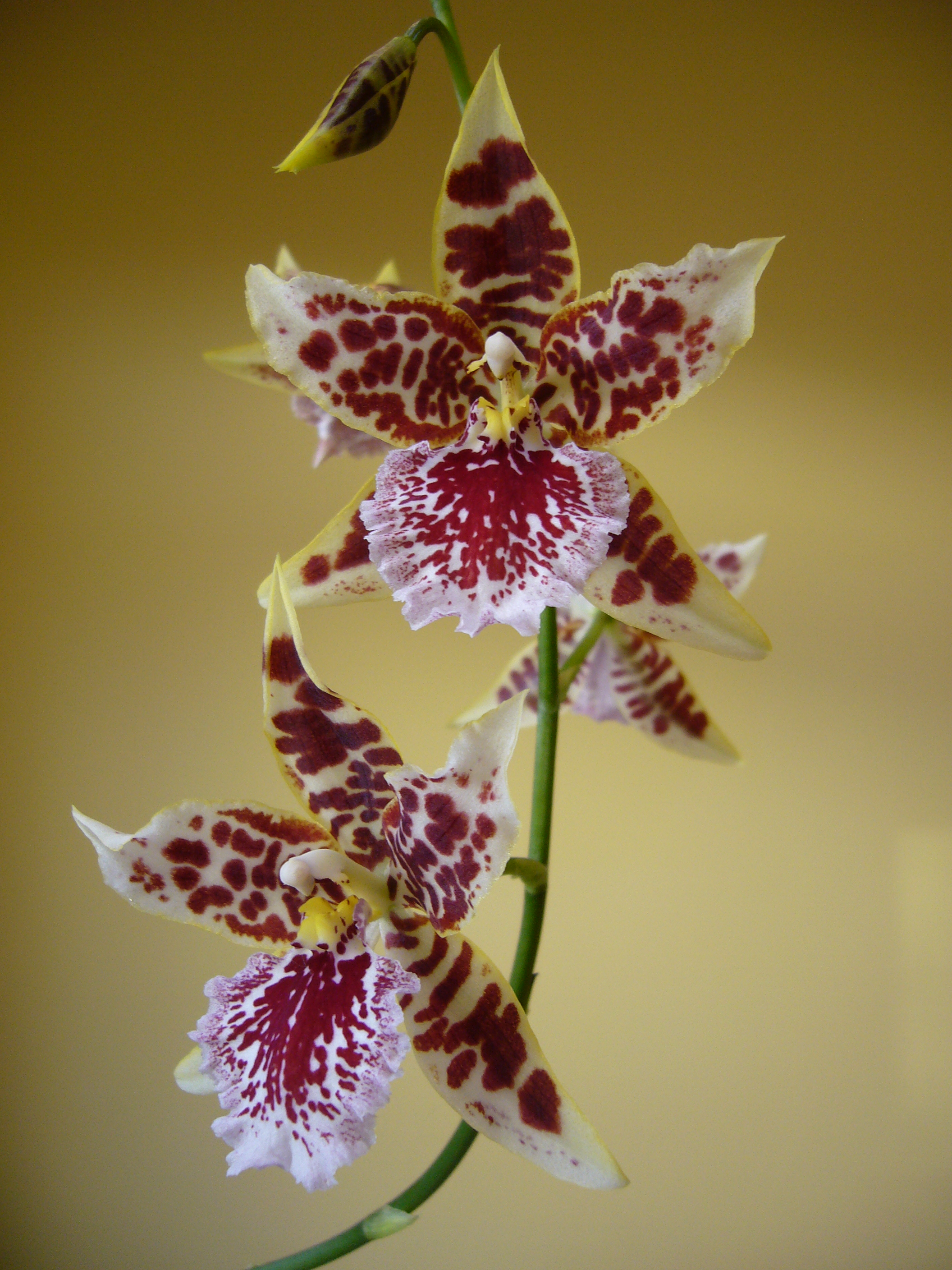 Images Of File Cambria Orchid Jpg Wikipedia The Free Encyclopedia Wallpaper