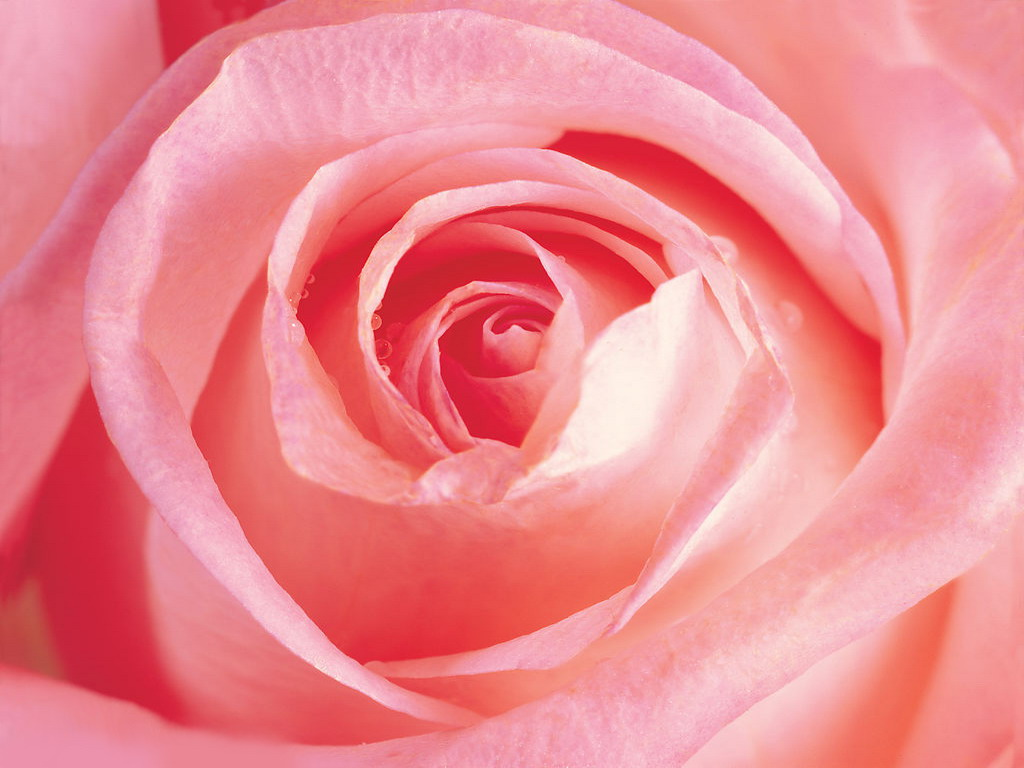 Pink Rose « Flower Pictures Wallpaper