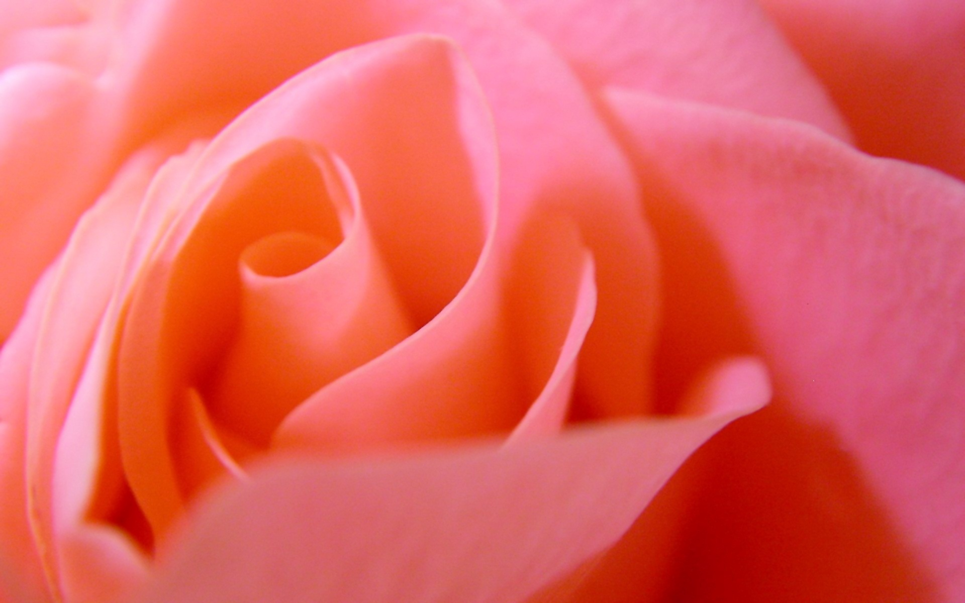Rose Pink Wonderful Rose With Natural Flower Pink Rose – HD Wallpaper