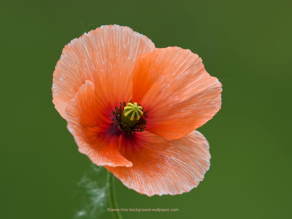 Pale Poppy Spring Flower   Flower Background Wallpaper   1024×768 Wallpaper