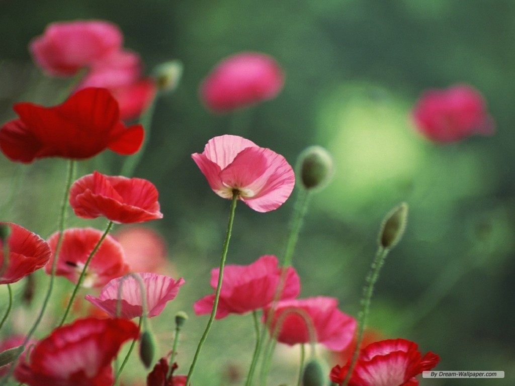 Free Flower Wallpaper   Poppy Flower Wallpaper   1024×768 Wallpaper Wallpaper