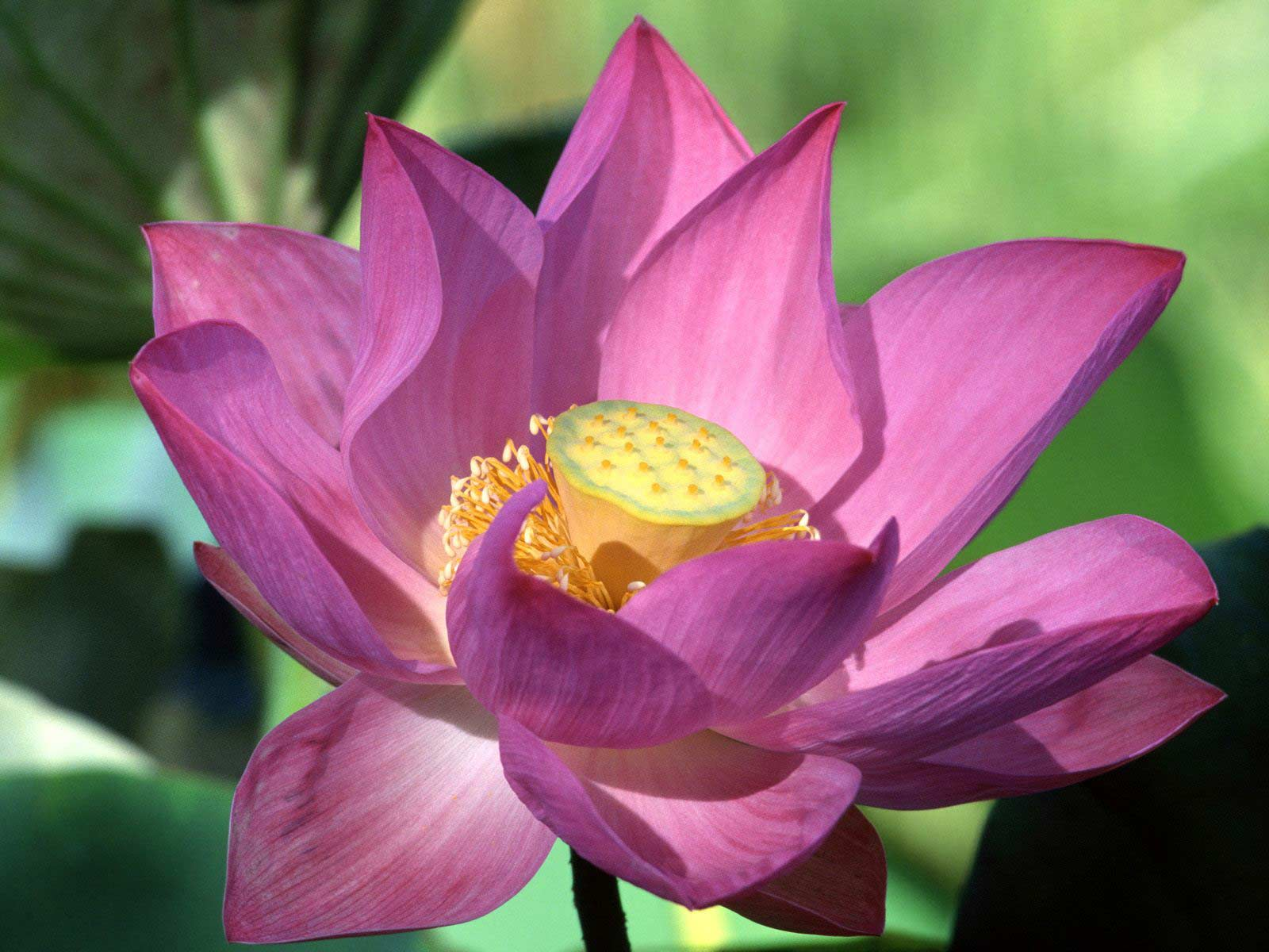Gallery · Nature · Purple Lotus   Flower | Free Background 1600×1200 Wallpaper