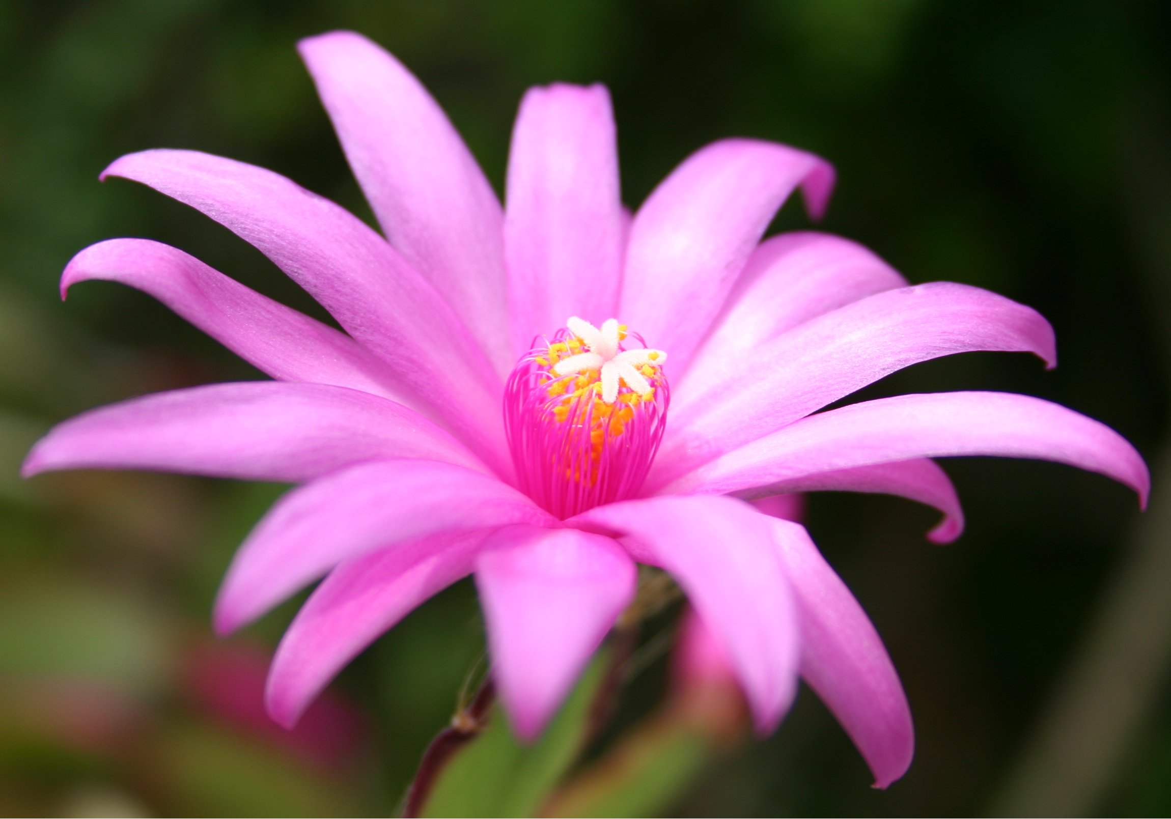 Purple Stars Flower HD Wallpaper   Purple Stars Flower Wallpaper