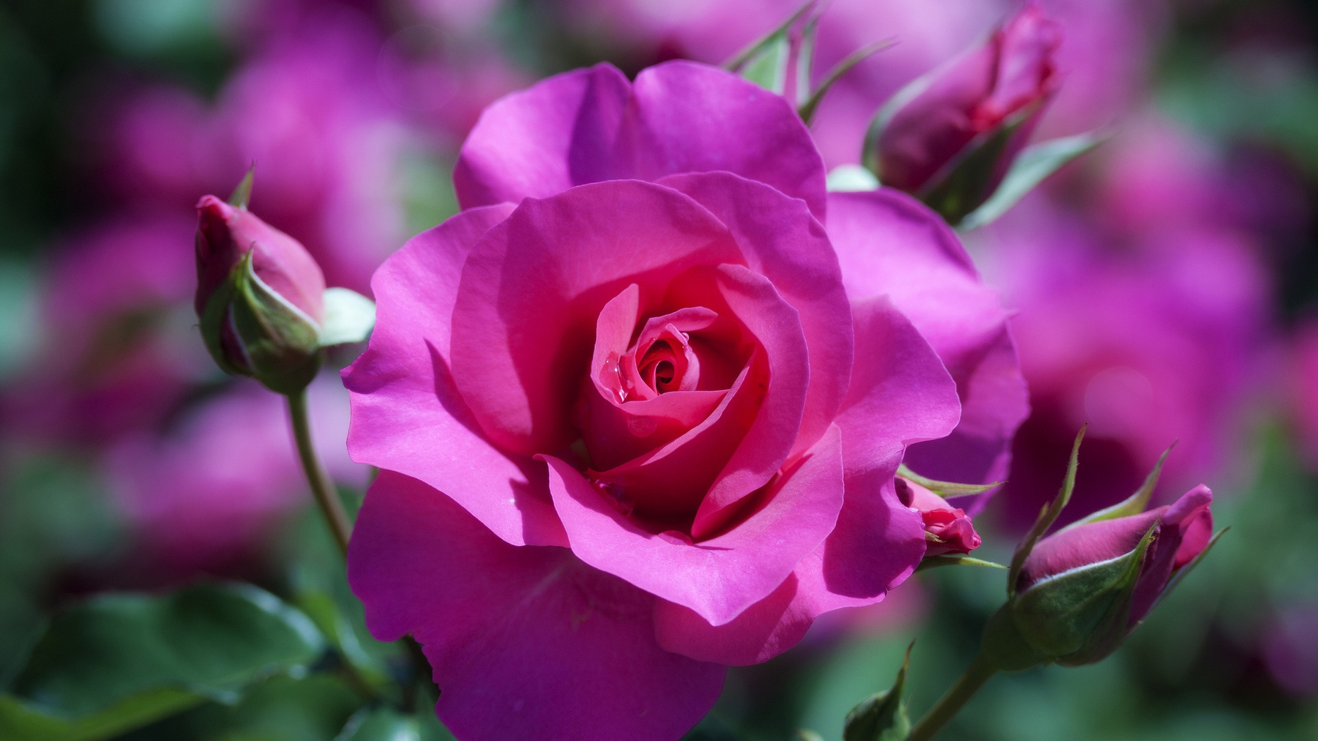 Full View And Download Purple Rose Flower Wallpaper 2 With Resolution Wallpaper