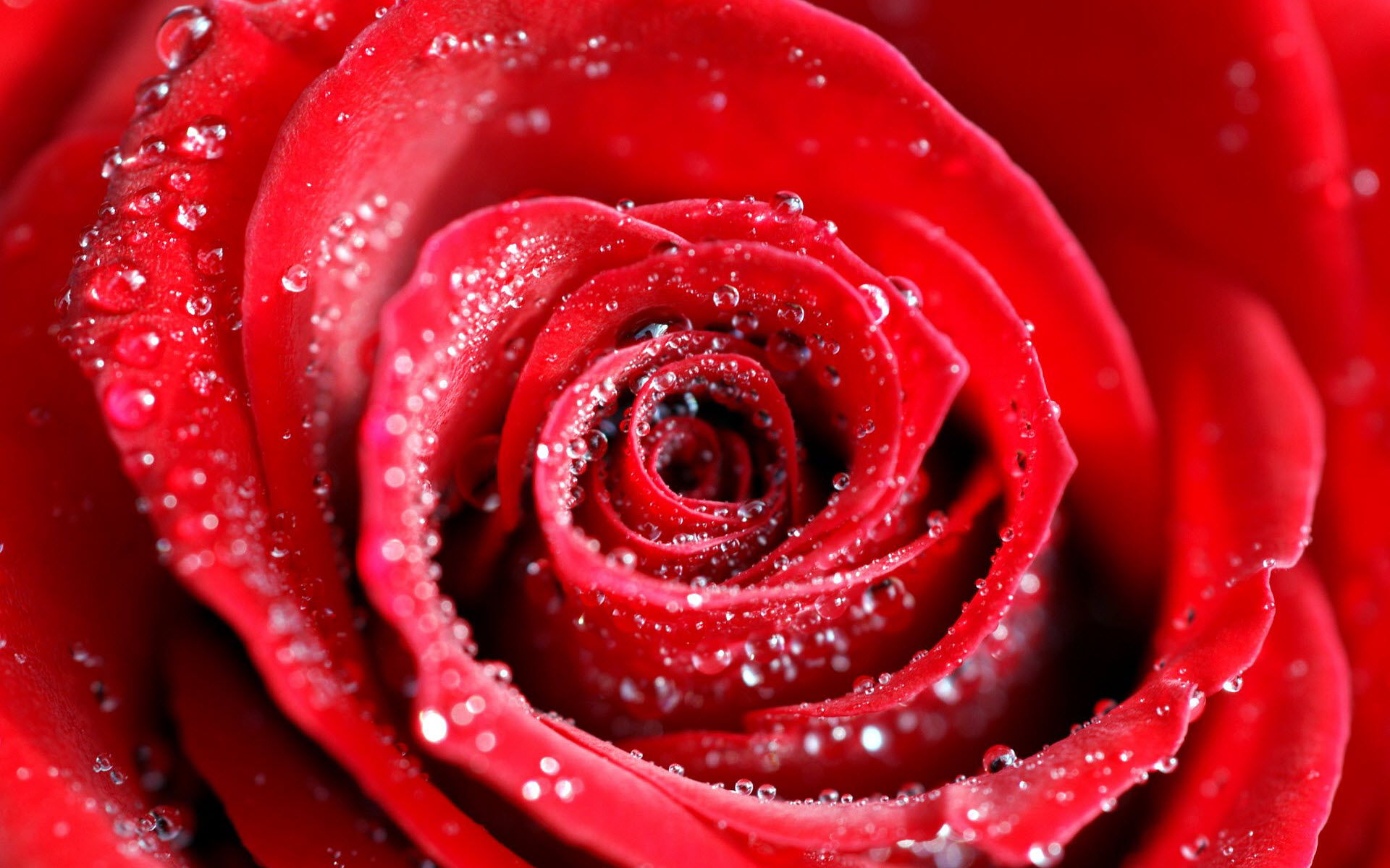 Water Drops On Red Rose Wallpapers | HD Wallpapers Wallpaper