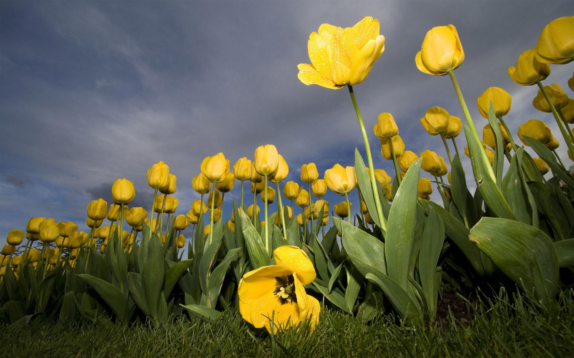 Summer Yellow Tulips « Flower Pictures Wallpaper