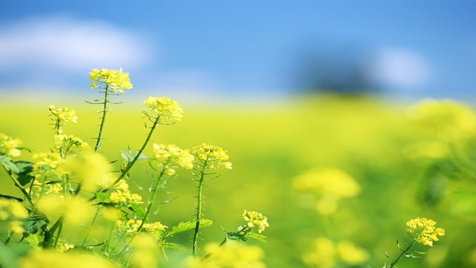 Free Download HD Yellow Flower Field Summer Flower Facebook Timeline Wallpaper