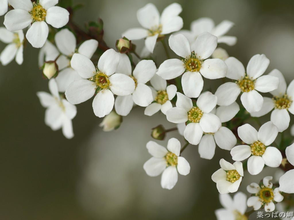 Little White Flowers Free Little White Flowers 3641 Hd Wallpapers Background